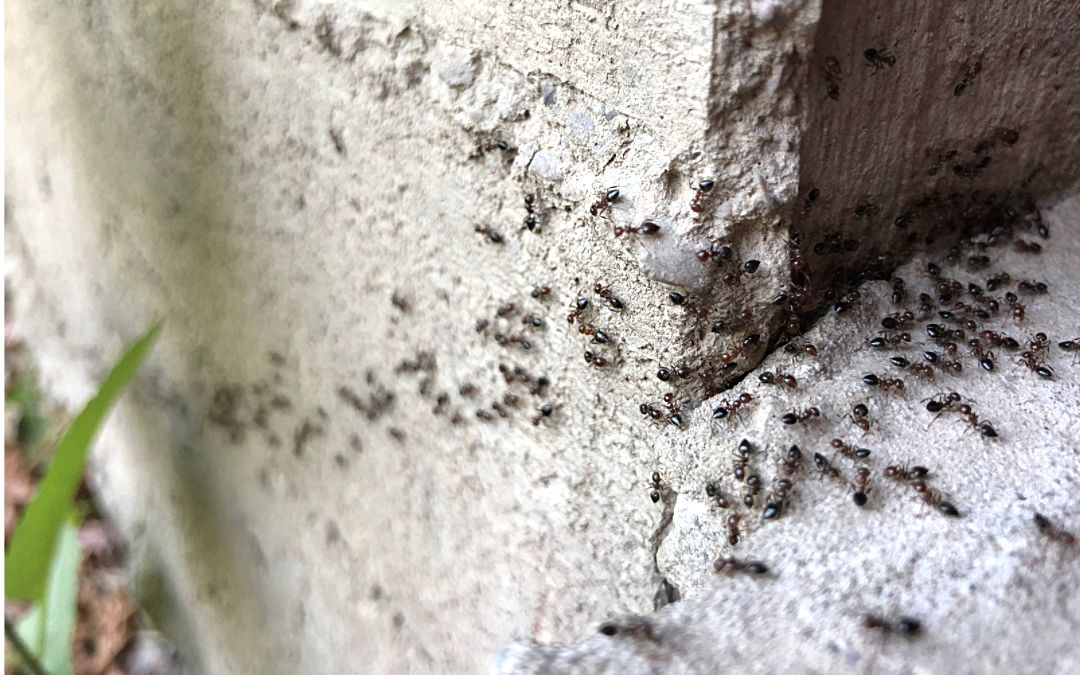 Black ants crawling on pavement and the side of a house.