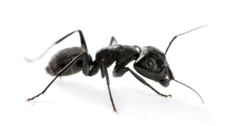Close-up of a carpenter ant on a white background.