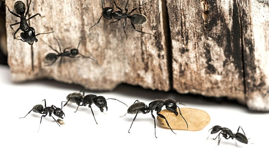Carpenter ants on and around a wood plank with an egg case.