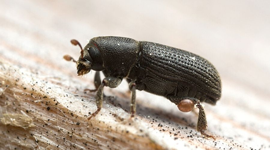 Close-up of a bark beetle on a piece of wood.