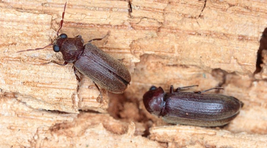 Close-up of two wood-boring beetles on tree bark.