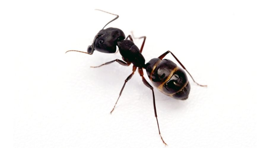 An odorous house ant on a white background.
