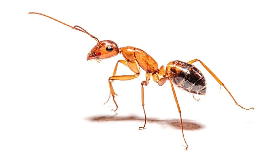 A pharaoh ant isolated against a white background.