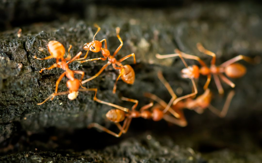 A group of fire ants on tree bark