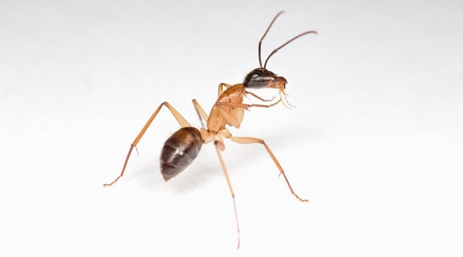 Close-up of a sugar ant on a white background.