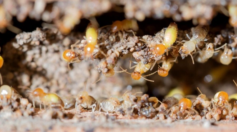 Close-up of termites nesting in timber.